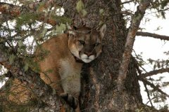 mountain-lion-in-tree.jpg