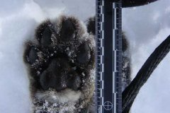 mountain-lion-paw.jpg